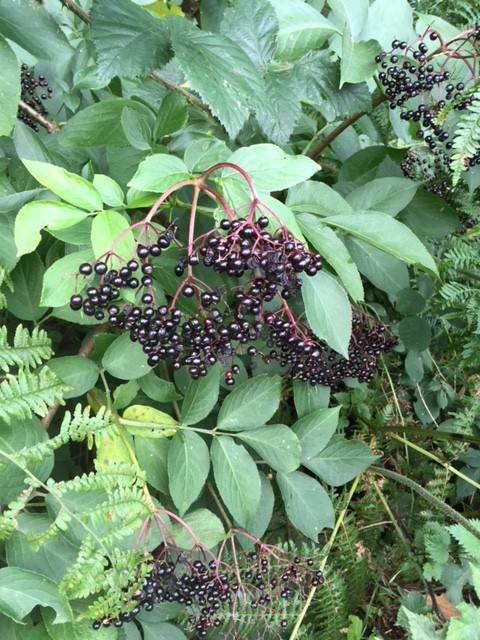 Cooking them Healthy's Elderberry Syrup